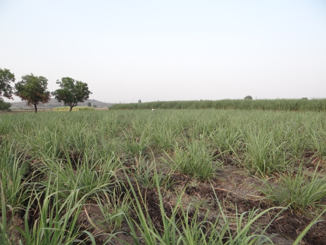 Sugarcane growing in Solapur at the height of 2013 drought, April 2013. Photo: SANDRP