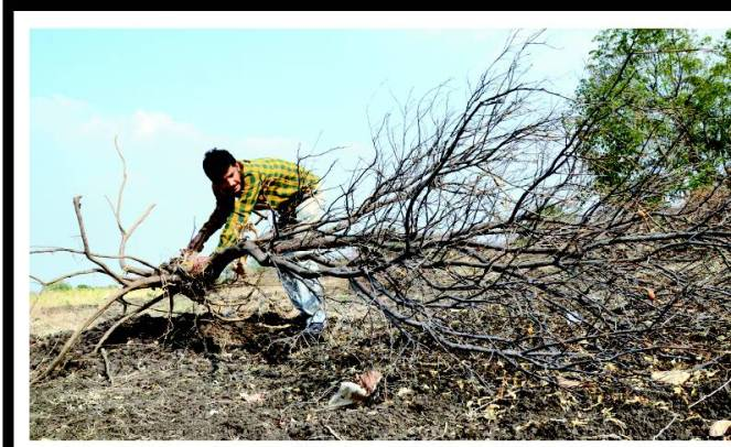 Burnt Sweet Lime plantations in Osmanabad. Courtesy: Times of India