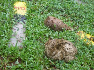 Elephant dung at a KPCL survey in Hongadhalla region, to be affected by Yattinahole Diversion Project. Photo: IISc