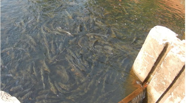 Congragation of Mahseer at Yenekkal Fish Sanctuary on Kumardhara River Photo: Author
