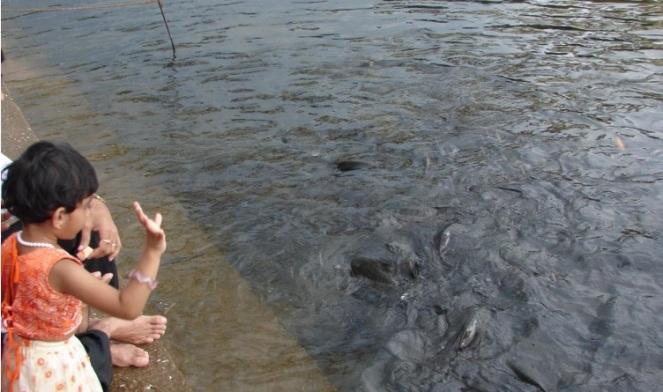 Child feeding fish at Shringeri fish sanctuary, Tunga River Photo: Author