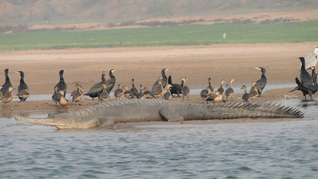 Gharial resting on a sand bank with Indian Cormorants and Lesser Whistling-ducks in the NCS  Source: SANDRP partners