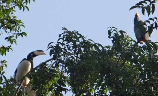 Malabar Pied and Malabar Gray Hornbills on the banks of Kali Photo: Author