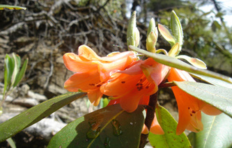 Rhododendron Species of Siang Basin Photo: Abor Country Travels