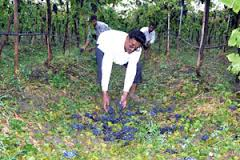 Grapes destroyed. Photo from : Loksatta