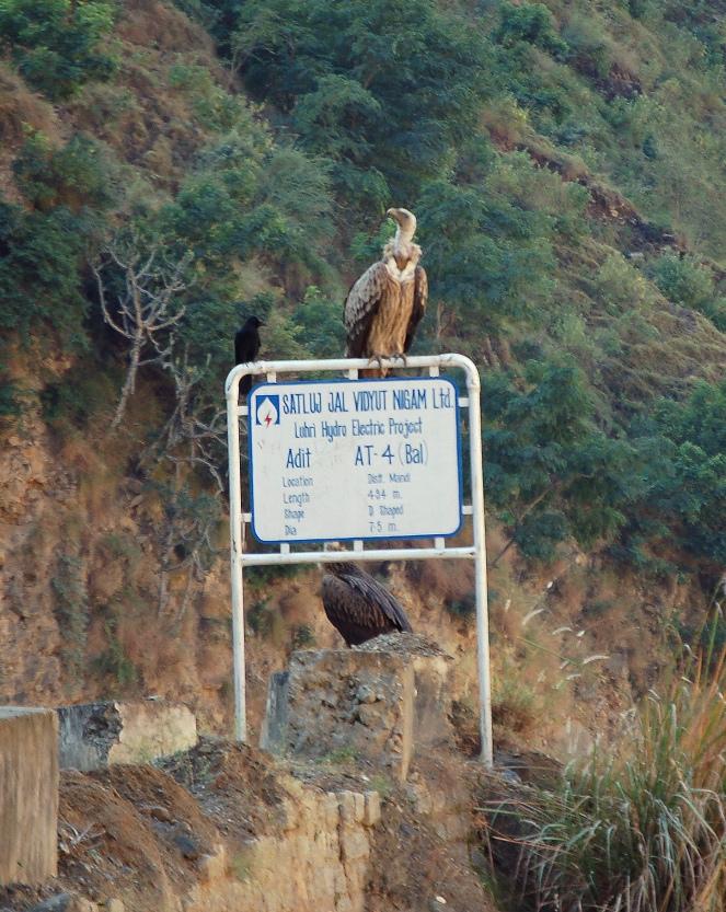 Hydro vulture, Luhri_20.11.2010