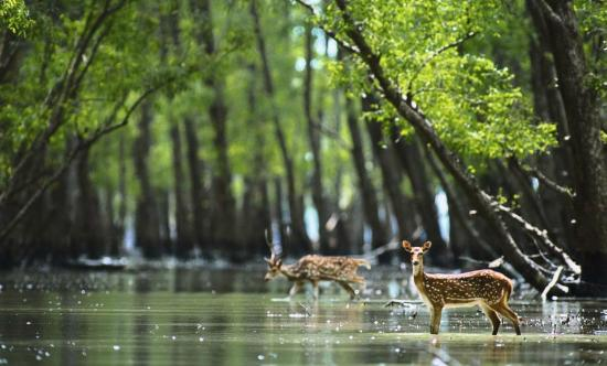 Sundarban Forests constitute parts of Ganga-Brahmaputra Delta from: Wikimedia Commons