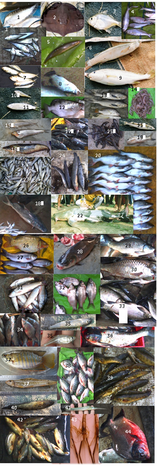 Various fish species in Ganga Basin. Refer to the Primer for more information.