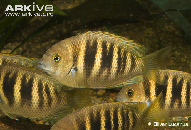 Canara Pearlspot, an endangered fish of many such species found in Netravathi Photo: Arkive.org