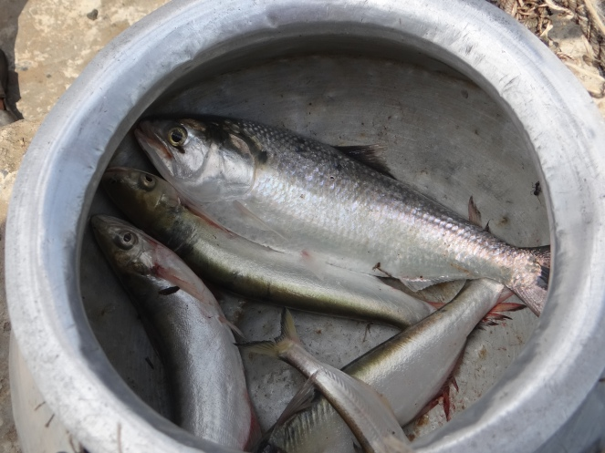 Lone Hilsa caught by a fishermen after three days of effort, sold for a pittance to local fish dealer. Photo: Author