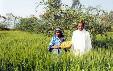 Intergrating agroforestry with Wheat in Bundelkhand Photo: ANI News