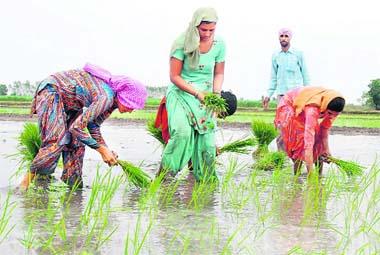 Rice Farming in Punjab Photo: The Tribune