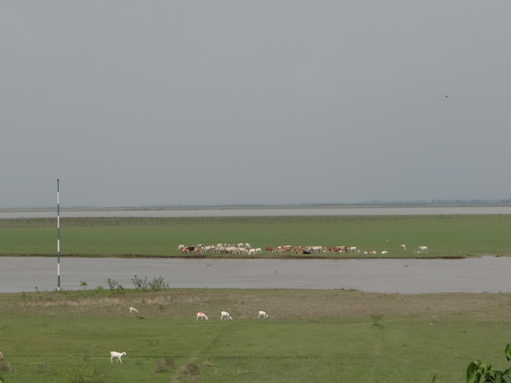 Cattle grazing just upstream of the Barrage, indicating the enormous sediment deposition
