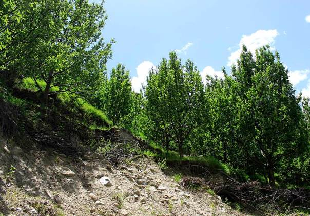 Munni Lal's apple orchard which was impacted by a landslide last year when the June 2013 monsoon rains occurred