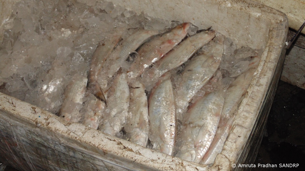 Hilsa ice packed to be transported