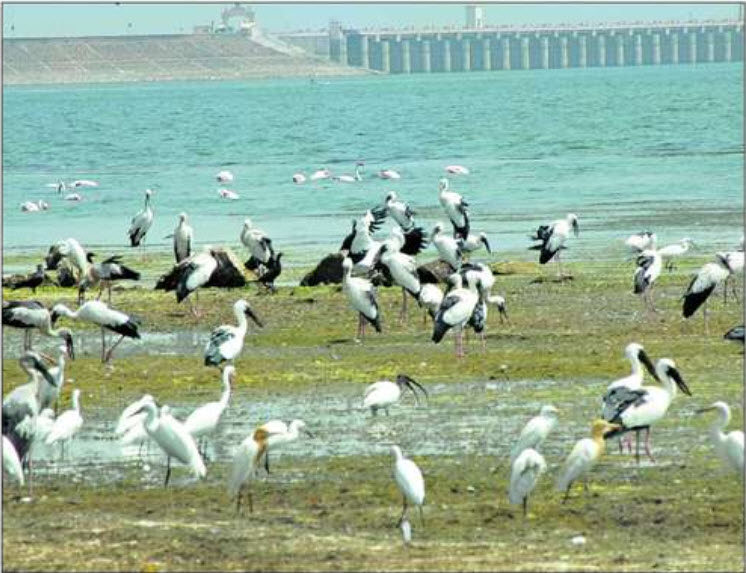 Waterbirds on mudflats of Jayakwadi Dam Photo: Wikimedia Commons