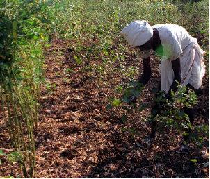 Cotton Yield Photo: Frontline