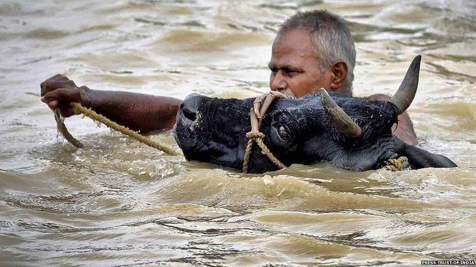 Not much has changed..cattle battling the Bihar Floods now. Photo: BBC News