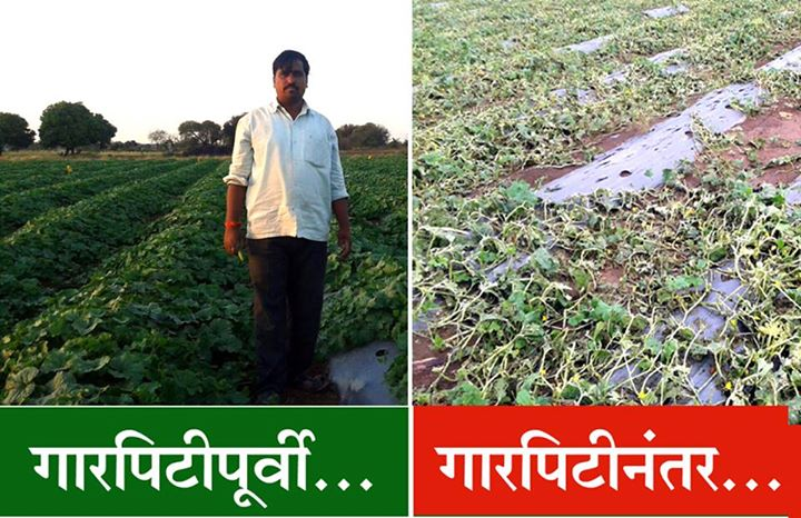 Destroyed fields of cucumber of a farmer in Solapur Photo: Agrowon
