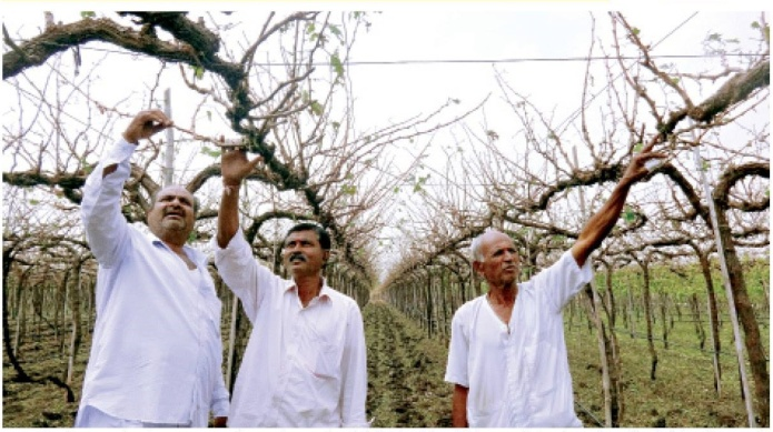 Grape farmers in Nashik inspect empty orchards which were full of export quality grapes just a few days back. Photo from Agrowon