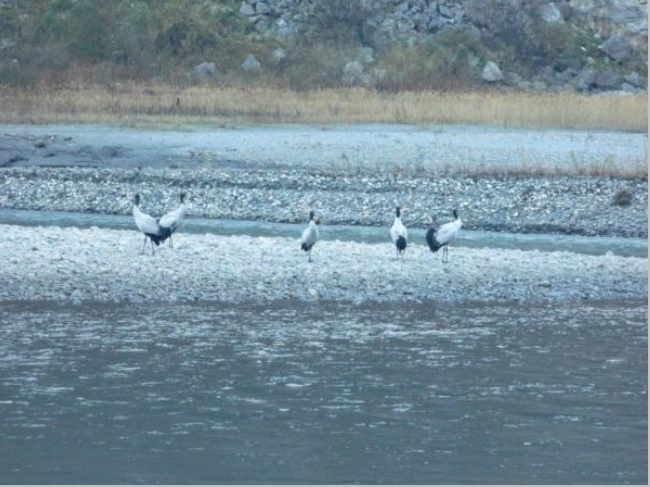Black Necked Cranes near Zemithang. WWF December 2013 Photo from CIA Report