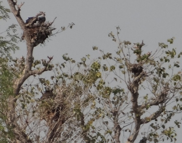 Vultures nesting at Jhari Dam site.
