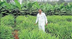 Multi crop farming in Sakaleshpura Photo: Deccan Herald