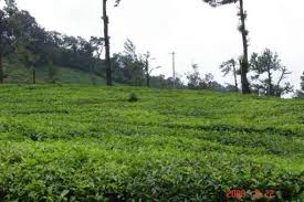 Kadamane Tea Estate