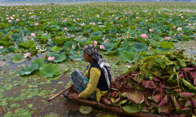 Harvesting Nadru (Lotus stem) in Dal Lake Photo: The Tribune
