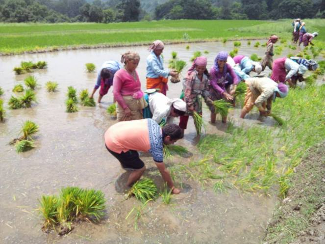 Maletha villagers during paddy plantation