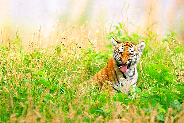 24 Tigers Might Be Homeless, Even Dead, If A River Linking Project Begins