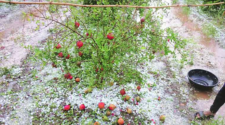 Crop loss following hailstorm in Marathwada Source: Indian Express