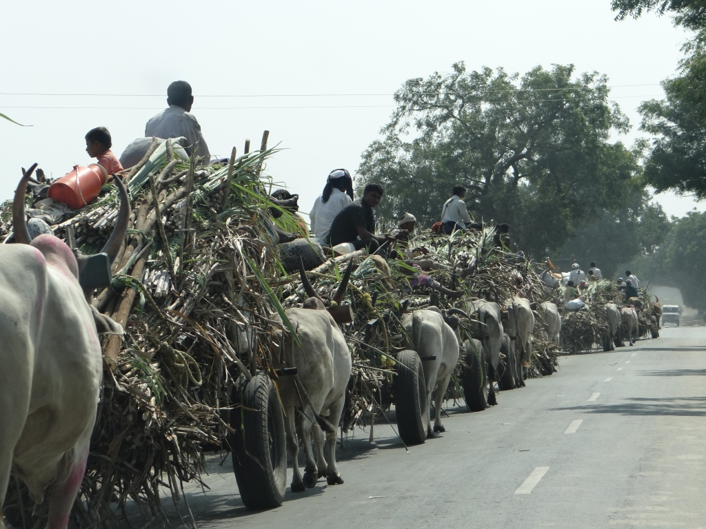 Sugarcane going to the factory in Solapur. 2013 Photo. Parineeta Dandekar
