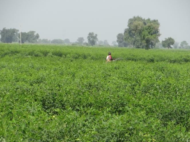Amidst Tur farms in Vidarbha Photo: Parineeta Dandekar