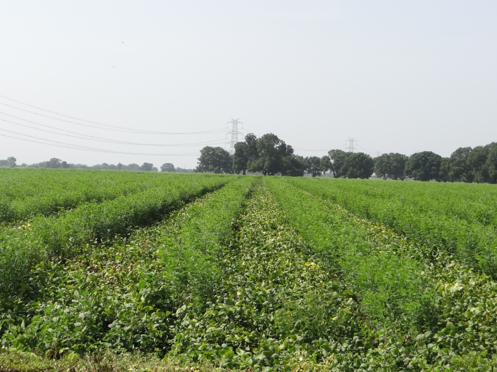 Rainfed Tur with moong/udad intercroppping in Amravati, Vidarbha, Photo: Parineeta Dandekar, October 2015