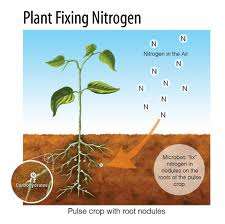 Above: Graphic representation on Nitrogen fixing by Pulses Source: Pulsecanada.com