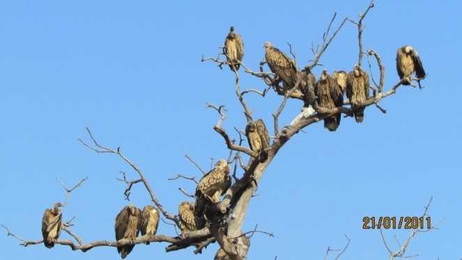 Vultures perched on a leafless tree in Panna Tiger Reserve (Photo RS Murthy)