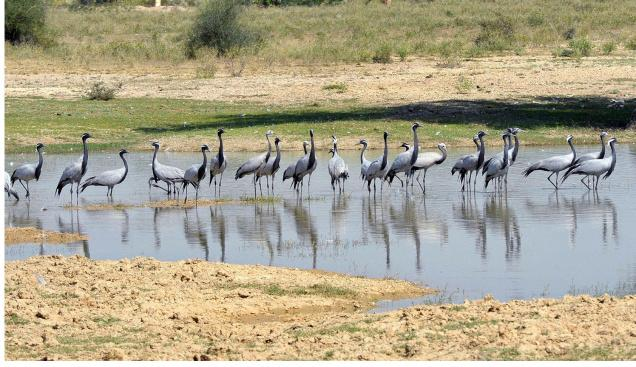 Demoiselle cranes, with their young ones, spotted at a lake in the Osian town of Jodhpur district in Rajasthan. Osian is not the usual destination for these cranes. Phalodi, also in Jodhpur district, gets them in hordes during winter