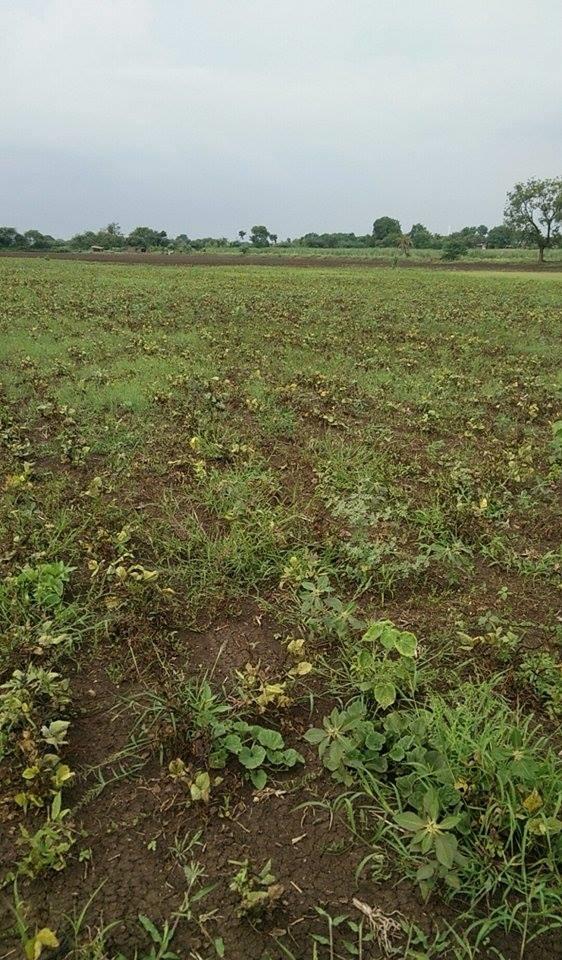 Dwarfed, dry Kharif Pulses in Ashok Pawar's farm, September 2015