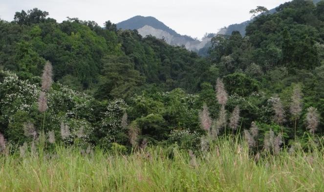 Bauhinia Bloom in Dibang Floodplain