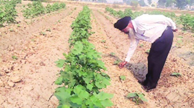 Avtar Singh with his cotton and cucumber crop