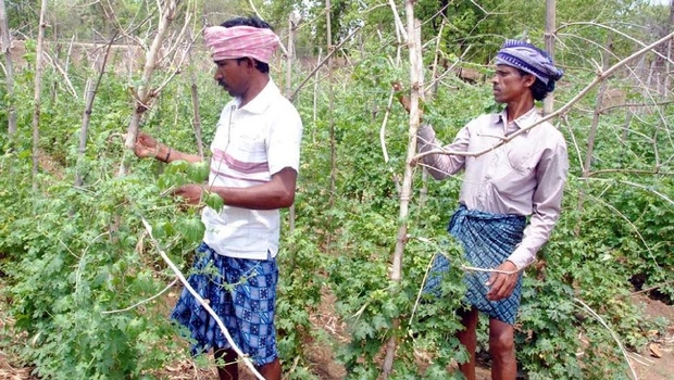 Farmers Sitaram Majhi and Dambru Majhi on their farm land