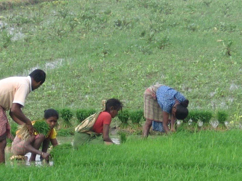 Paddy cultivation at the wetland_(Photo by Dhrubajyoti Ghosh)