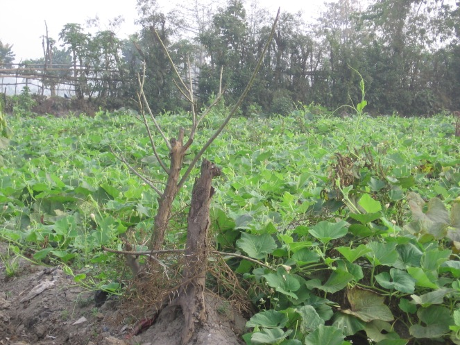 Vegetable farming on garbage substrate at Dhapa (Photo by Dhrubajyoti Ghosh)
