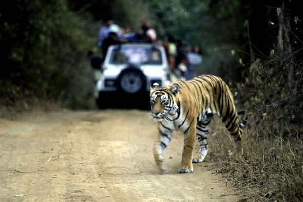 tigers-kPvG--621x414@LiveMint