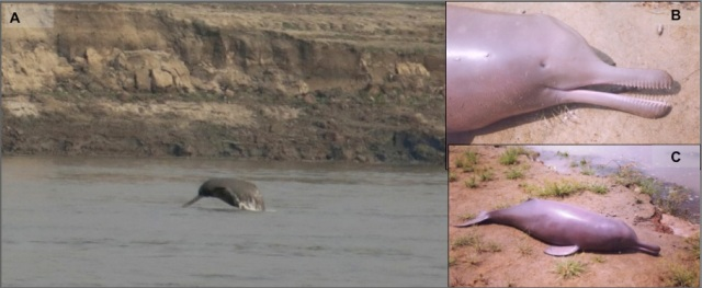 (A) An image showing the Gangetic dolphin in its wild habitat (photo credit: Kadambari Deshpande), (B) a dead Gangetic dolphin calf (notice the pinhole like eyes), and (C) the calf is 1 m long, and adults measure to 2.6 m (photo credits for B & C: Sushant Dey).