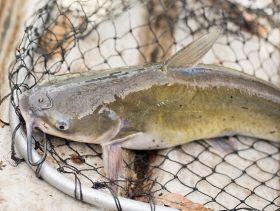 1626_catfish