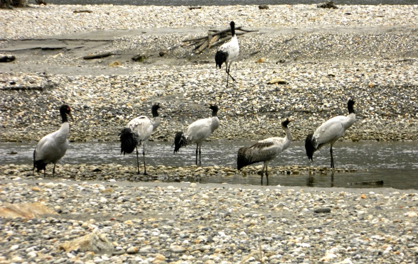 Black Necked Cranes at Pangchen Valley (Photo: Lham Tsering)