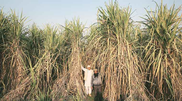 farmers-with-20-ft-high-sugarcane-stalks-of-co-0238-variety-in-a-field