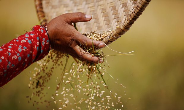 harvesting-rice-in-nepal-food-systems-are-responsible-for-up-to-29-of-global-greenhouse-gas-emissions-driving-the-climate-instability-that-threatens-agricultural-productivity